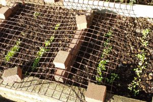 My first seedlings appear (Image: T. Larkum)