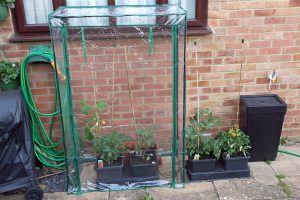 Our mini greenhouse with tomatoes and cucumbers (Image: T. Larkum)